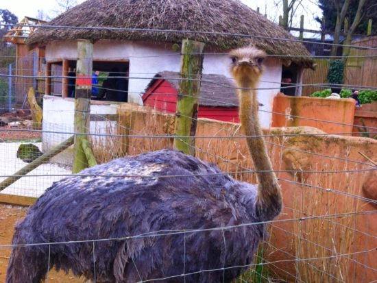Ostrich at Chessington