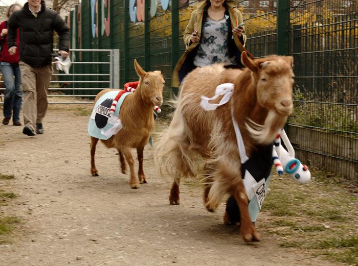 The Goat Race Spitalfields City Farm