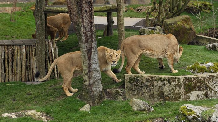 Land of the Lions lionesses