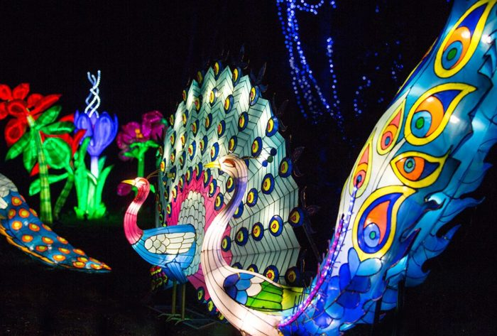 Magical Lantern Festival peacock