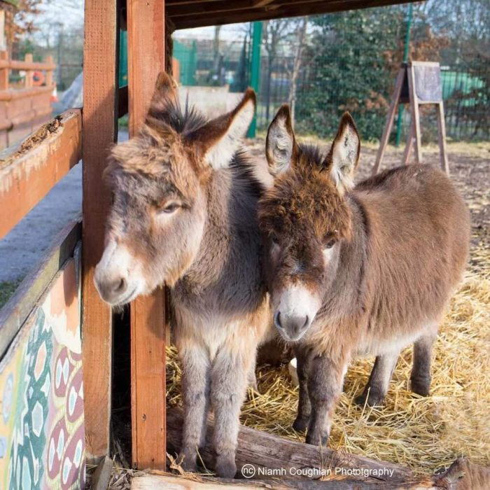 Gilbert and Sullivan miniature donkeys at Spitalfields City Farm